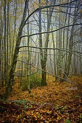 Lost in the wood (Andrea Rapisarda) Tags: wood italy mist fall nature colors fog foglie nikon italia ngc foggy natura sicily nebbia autunno sicilia nationalgeographic bosco allrightsreserved parcodeinebrodi d7000 andrearapisarda andrearapisardaphotography