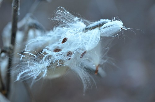 frosty milkweed_133