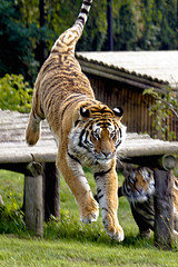 Chase is on (wwmike) Tags: tiger bigcat flickrbigcats