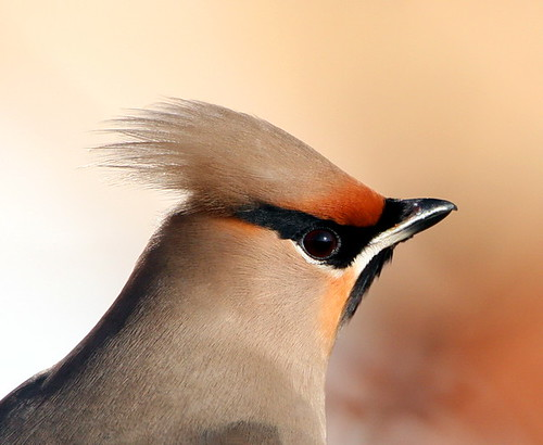 waxwings by Dean Eades - BirdMad