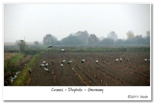 Cranes • Kraniche • Kraanvogels • Diepholz • Germany by Marcel van Gunst