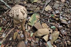 Macrolepiota Procera 01 (Rob McFrey) Tags: sardegna b italy macro mushroom nikon italia sardinia head tripod rob tokina fungi di maggiore roberto acqua montagna 1224mm f4 cagliari 1224 mazza foresta fungo parasole sarrabus forestale sottobosco ombrellone d90 giottos castiadas tamburo bubbola mazzatamburo dxii mh5001 puppola mcfrey defraia mtl9351 callenti tokinaatx124prodxii1224f4