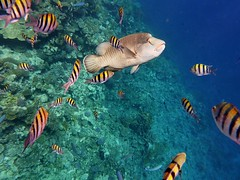 Red Sea in 3D (werner boehm *) Tags: red sea underwater redsea egypt napoleon reef ägypten corals sinai sergeantmajor wrasse riff unterwasser korallen nabqbay soldatenfisch wernerboehm