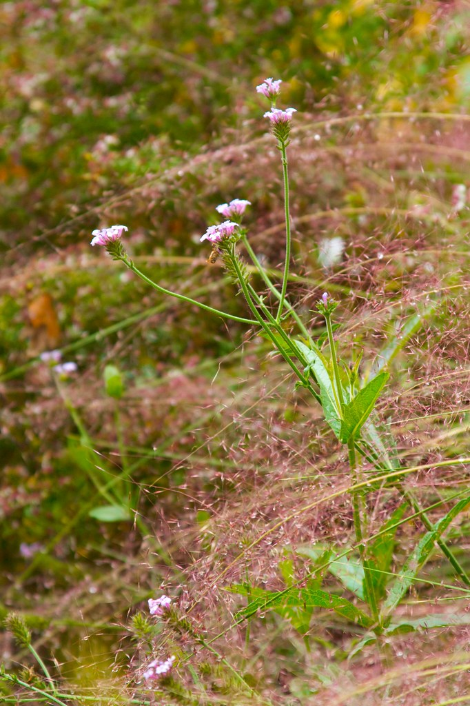 verbena ridiga and muhlenbergia capillaris  956