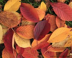 fallen leaves    5467 (deanwgd608) Tags: newyorkcity autumn stilllife orange color fall brooklyn prospectpark parks foliage autunm canonef24105mmf4lisusm kartpostal canon5dmk2
