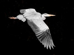 Wings over the Dodder (Steve-h) Tags: ireland dublin orange bird eye heron nature yellow canon river eos grey flying wings action gray flight beak feathers sharp adobe handheld mk2 5d wingspan lightroom pinion steveh greatgreyheron riverdodder bestcapturesaoi doubleniceshot canonef100mmf28lmacroisusmlens tripleniceshot elitegalleryaoi mygearandme mygearandmepremium mygearandmebronze mygearandmesilver mygearandmegold mygearandmeplatinum mygearandmediamond adobelightroom35