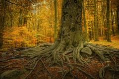 Roots (christian&alicia) Tags: santa tree nature forest landscape nikon natural roots sigma natura catalonia catalunya fe arbre parc hdr bosc fageda montseny catalogne 1820 d90 arrels christianalicia ilobsterit