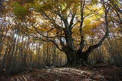 L'autunno del re dei faggi (Luca Zappacosta) Tags: autumn italy tree fall woods italia foliage oldtree albero autunno beech abruzzo bosco patriarca faggio abruzzonationalpark fagussylvatica pontone monumentaltree parconazionaledabruzzolazioemolise alberosecolare commonbeech alberomonumentale passogodi lucazappacosta seculartree zappacostaluca nationalparkofabruzzolazioandmolise faggiodipontone parconazionaledabruzz