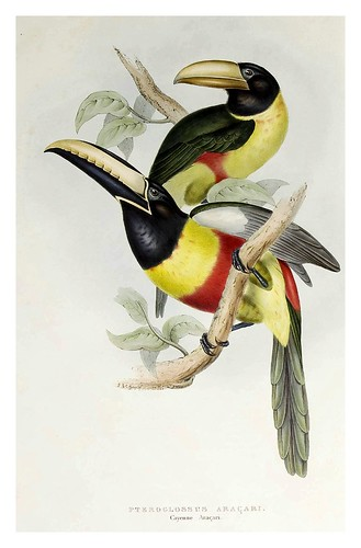 001-Tucan Araçari de Cayena-A monograph of the Ramphastidae or family of Toucans-1834- John Gould