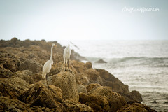 This is life... (AniSuperNova83) Tags: ocean sea birds mar colombia stones aves cartagena piedras oceano garzas supernova83 anisupernova
