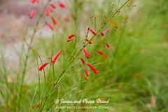 Firecracker Plant JN057298 (JaniceNolan_braud) Tags: flower bush texas wildflower botanicalgardens mercerarboretum russeliaequisetiformis firecrackerplant