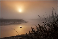 Tranquility of Nature (adrians_art) Tags: sky plants cloud mist water birds fog sunrise reflections reeds dawn rivers silohuette muteswans