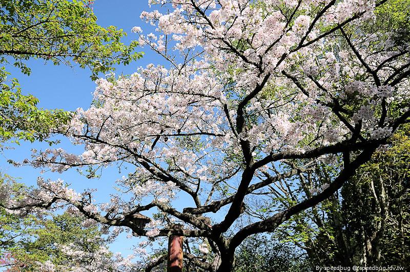 阿里山櫻花季94