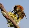 Common Carder-bee - akkerhommel (Bombus pascuorum ) (Gertj123) Tags: fbdg flickrstruereflection1 flickrstruereflection2 flickrstruereflection3 flickrstruereflection4