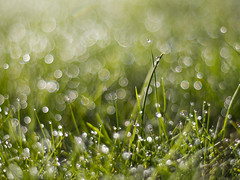 Wonderland (ecstaticist - evanleeson.com) Tags: green grass 50mm dof bokeh f14 drop sparkle dew refraction droplet blade bloken
