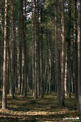 Hileras y mas hileras de troncos... (Isaac Torrontera) Tags: mountain mountains green primavera forest canon spring trunks montaña sombras forests andorra iluminacion rabassa canon550d canonefs1585mmf3556isusm cruzadasi