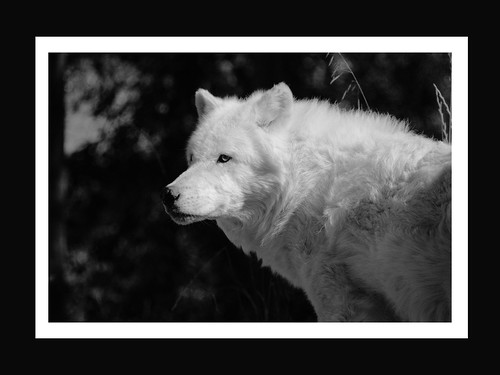 Alaskan Wolf - 001 by myeldiablo