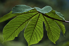 Cecropia peltata (Yarumo) (PriscillaBurcher) Tags: trees leaves hojas rboles yarumo cecropiapeltata greenbeautyforlife