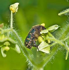 Gametis jucunda, コアオハナムグリ (aeschylus18917) Tags: danielruyle aeschylus18917 danruyle druyle ダニエルルール ダニエル ルール japan 日本 nikon d700 nikond700 nature nagano 長野県 azumino 安曇野市 macro insect beetle scarab chafer 甲虫 兜虫 insecta coleoptera 105mmf28gvrmicro 105mmf28 nikkor105mmf28gvrmicro 105mm scarabaeidae scarabaeoidea cetoiidae gametisjucunda コアオハナムグリ ナムグリ flowerchafer cetoniinae こアオハナムグリ pxt