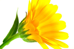 Perfect Imperfections (violinconcertono3) Tags: flower macro nature yellow closeup flora natural daisy davidhenderson 19sixty3