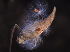 Seed Launching Pad (Also http://www.ipernity.com/home/304321) Tags: autumn fall wisconsin pod seed fluff wi middleton strickerspond wilkweed