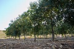Olivos (Grupo Caparrs) Tags: cabo olive aceite oil grupo olivos olivo soldeportocarrero parquenatural caparros gatanijar orodenijar