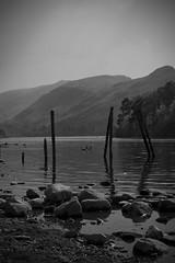 derwent calm (Chris McEvoy) Tags: blackandwhite bw mountain lake mountains duck stones derwent lakedistrict ducks derwentwater