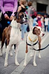 Leo and Dallas, Best Friends (Eardog) Tags: boxer eyepatch brownandwhitedog servicedogtherapydogtheodoreblackwhitedogmuttbordercollieeardogproductionseardogcitydogcountrydogkimberlywangbrooklyn2011dumboartsfestivalartartistsinstallationartexhibit