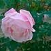 シャンテ ロゼ ミサト(Chant Rose Misato)