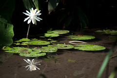 Frogs on Vacation (cgeneroso) Tags: gardens botanical lily pad frog frogs pads kanapaha