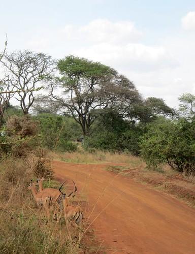 impala safari kenya africa  nairobi