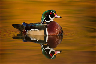 Wood Duck and Fall Reflections