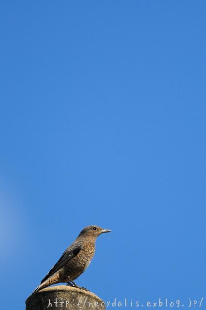 イソヒヨドリ [Monticola solitarius]