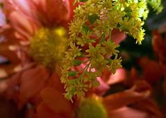 Flôres - quinta flower (Sérgio Vasconcellos) Tags: brazil brasil flora flôr flôres