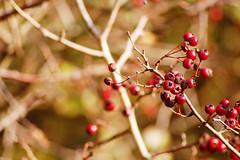 Ripe (Alice Horton.) Tags: autumn winter red crimson nikon berries dof bokeh bare sigma mm 300 twigs 70 d40