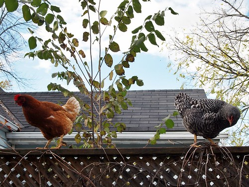 naughty chickens on the fence