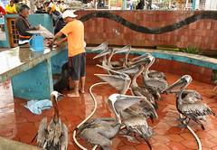 Galapagos fish market (zwierzory) Tags: santacruz southamerica animal ecuador galapagos pelikan ptak galapagosislands puertoayora zwierz amerykapoudniowa ekwador thegalapagosislands lewmorski