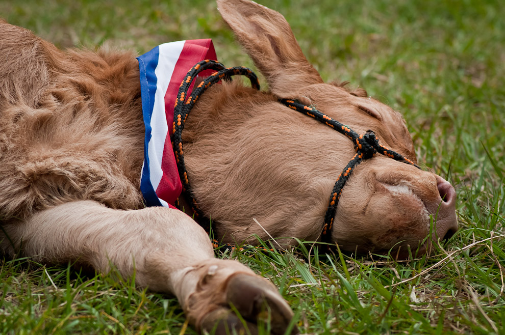 Un ternero de la raza Brangus, crío de uno de los animales premiados en la inauguración de la Expo Feria 2011, se acuesta en el césped para tomar una siesta mientras se llevaba a cabo el desfile de animales premiados el sábado 16 de Julio por la mañana en el rodeo central de la Asociación Rural del Paraguay. (Elton Núñez)