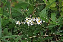 三保市民の森のシラヤマギク(Flower, Miho Community Woods)