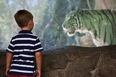 Tiger walking (Lars Plougmann) Tags: boy glass zoo tiger 70 fortworth whitetiger img6948