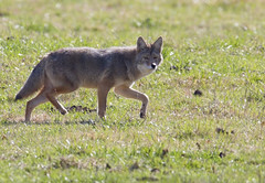 A well fed coyote... (Mike Martin, Wildlife Photography) Tags: coyote bentoncountyarkansas