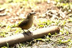 corrura (Troglodytes musculus) (Alberto Alves) Tags: nature braslia brasil natureza aves fotos troglodytes fotografias passros musculus corrura albertoalves