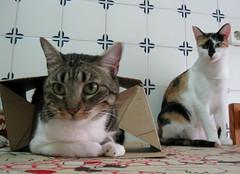 139-September'11 (Silvia Inacio) Tags: cats cat tabby gatos calico gata princesa pipoca