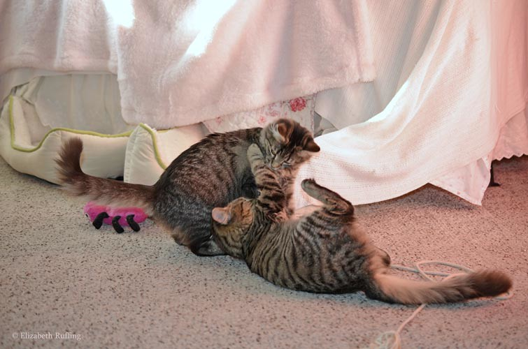 Tabby kittens at play, Phoebe playing with Bertie, photo by Elizabeth Ruffing