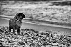 De frente al mar (J.M. Stelluti) Tags: white black blanco agua natural negro pug playa arena perro carlino