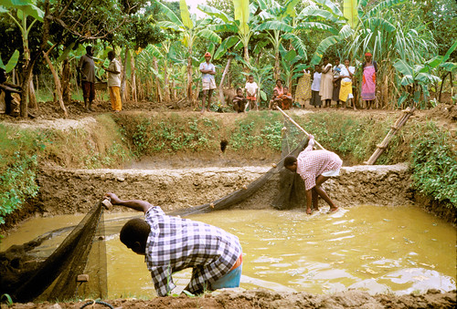 Expanding sustainable aquaculture, Malawi. Photo by Randall Brummett, 2002