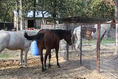 www.Cowboy4Sale.com (tanyerhide) Tags: show ranch horses horse tree home leather shop kids training washington cowboy mare texas tank fors