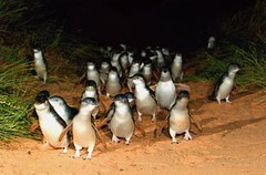 Australia (julianapalermo1986) Tags: island penguin parade phillip