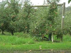 Apple Orchad