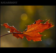 Face the Sun (KSGarriott) Tags: morning autumn orange sun blur fall nature yellow sunrise season lumix leaf maple close bokeh panasonic mapleleaf vegitation gh2 14140 ksgarriott scottgarriott